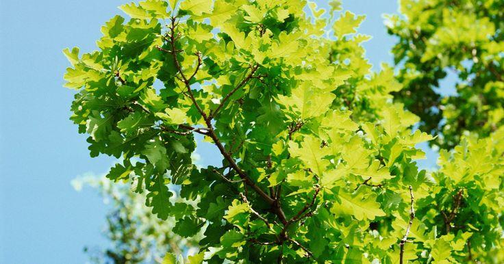 """Lista de géneros de las plantas. Las plantas que son miembros del mismo género comparten características comunes. El nombre científico del arce rojo es """"Acer rubrum"""", lo que significa que los arces rojos son miembros del género """"Acer"""". Con cerca de 250.000 especies en el reino vegetal, existen miles de géneros de plantas. Con tantos, algunos de los más reconocidos comúnmente se ..."""