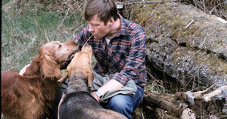"""Dez principais raças de cães em relação ao sentido do olfato. A palavra inglesa """"hound"""" (cão) originou-se da palavra alemã para cachorro, """"hund"""". Enquanto hund é uma palavra usada para definir todos os cães, hound, em inglês, passou a significar um tipo de cão usado para a caça. O grupo de cães de caça é divido em sabujos (comumente chamados de farejadores), que caçam pelo cheiro, e lébreis, que caçam pela ..."""