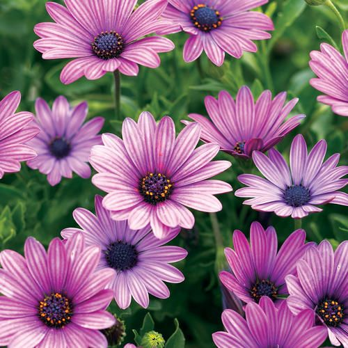 Purple Daisy Flower: 33 Best Images About Osteospermum On Pinterest