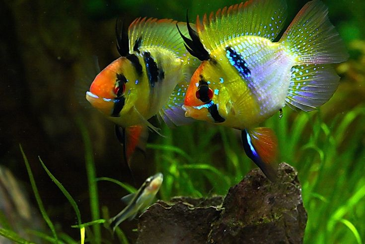 Blue Ram - Dwarf Cichlid: I like these fish even if they are a bit aggressive.