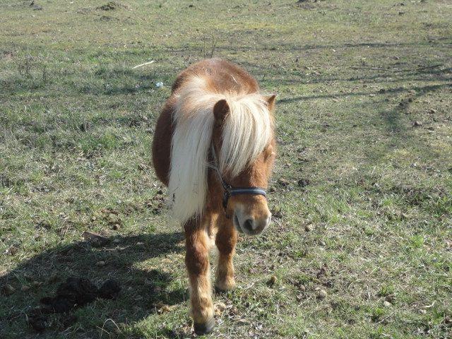 Funny poney around the Elstal strawberry farm