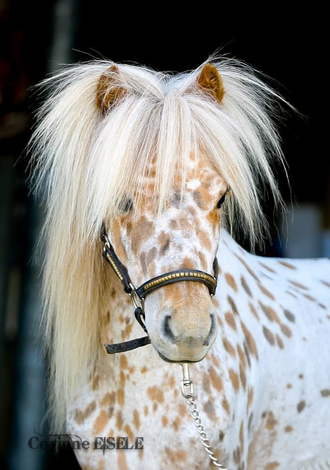 Appaloosa Miniature Horse...omg, give that head a shake!