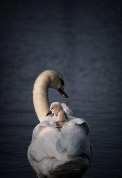 """Mother day"" by Milov Zelt: Cute Animal, Earth Songs, Sweet, Mothers Day, Mama Swan, Beautiful, Baby Animal, Milov Zelt, Birds"