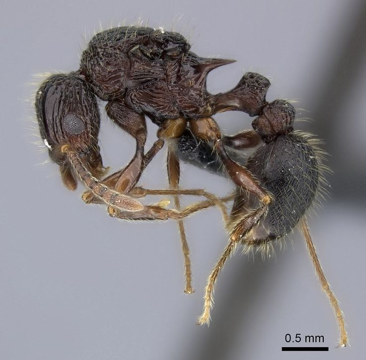 """Jedi Ant - The Force is strong with Tetramorium jedi, an ant species that inhabits the lowland rainforests of Madagascar.  The species was described in 2012 in the journal Zootaxa: """"This new species is named after the fictional, noble, and wise guardians of peace from the 'Star Wars' universe created by George Lucas,"""" the study's authors wrote in their paper."""