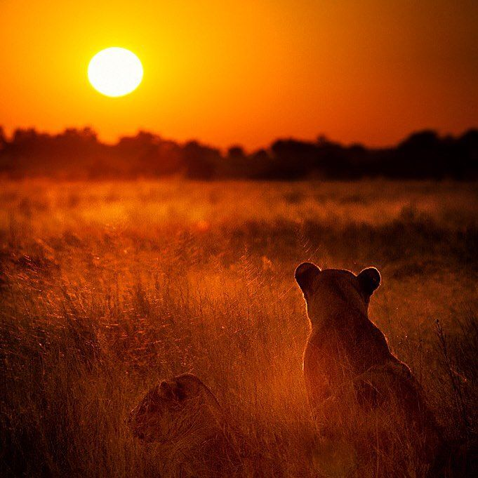 Give one word for this picture...   Credit: http://ow.ly/XlAm1  #Afritrip #Botswana #sunrise #lioness
