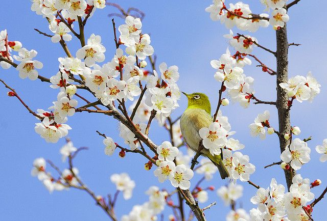 Japanese White-Eye in the plum blossom by Richard.Fisher, via Flickr