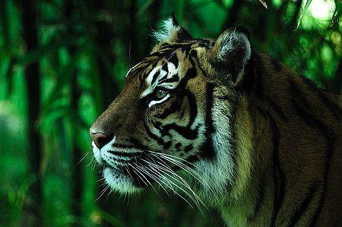 tiger | by painteddog