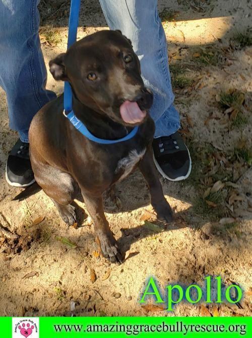 Adopt Apollo On Adoption Dogs American Staffordshire