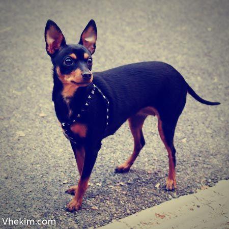"""Minyatür Pinscher kısa ismiyle """"min pin"""" büyük bir köpeğin küçük bir bedene sığdırılmış halidir. Onlar enerjik, eğlenceli ve zeki köpeklerdir."""