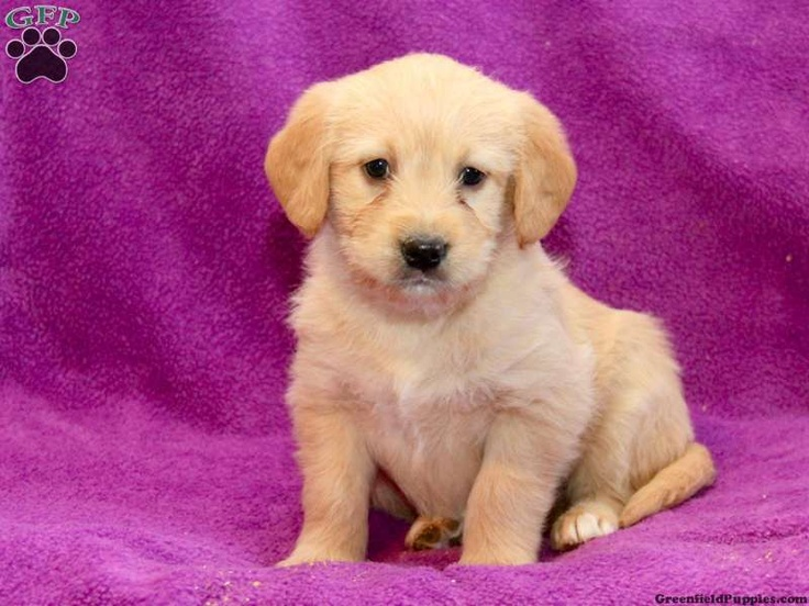 golden retriever puppies for sale in gap pa