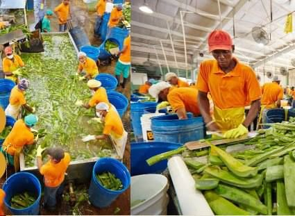 Fresh Aloe Vera being processed! Forever Living Products. http://www.healeraloe.flp.com