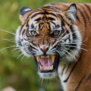 Angry tiger Burgers' Zoo | Theo Kruse | Flickr