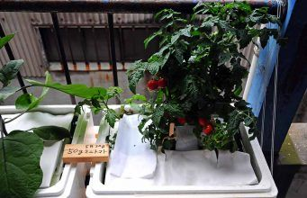 Hydroponic Farming – Growing Tomatoes