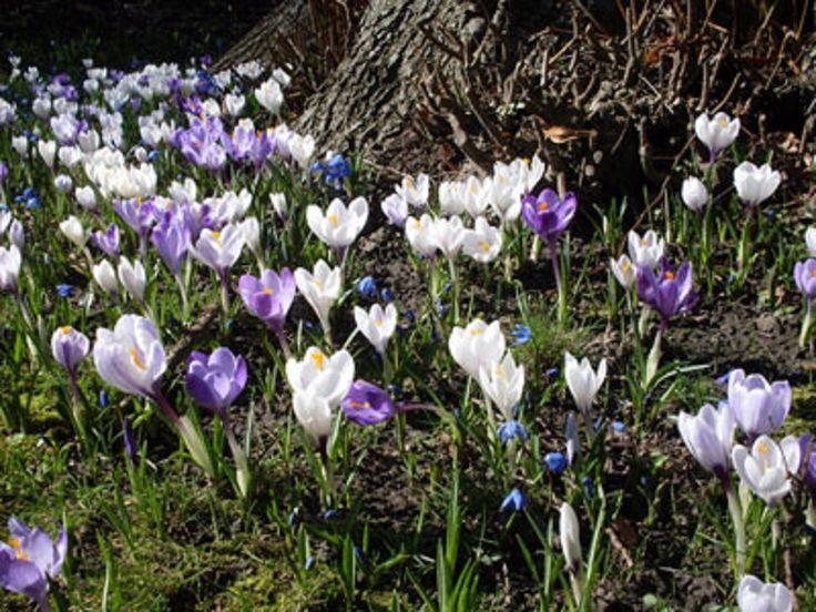 Più Di 25 Fantastiche Idee Su Krokusse Pflanzen Su Pinterest ... Hinweise Krokus Pflanzen Rasen Blumentopf