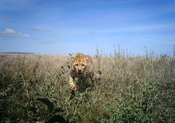 My second cheeta.. and what a picture...