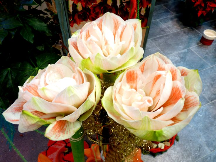 Floraler Star zu Weihnachten : Die Amaryllis