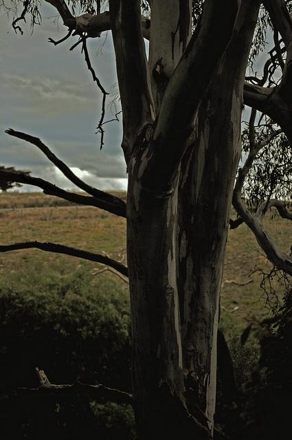 Australian Gum Tree by JanetGrima, via Flickr: Photo