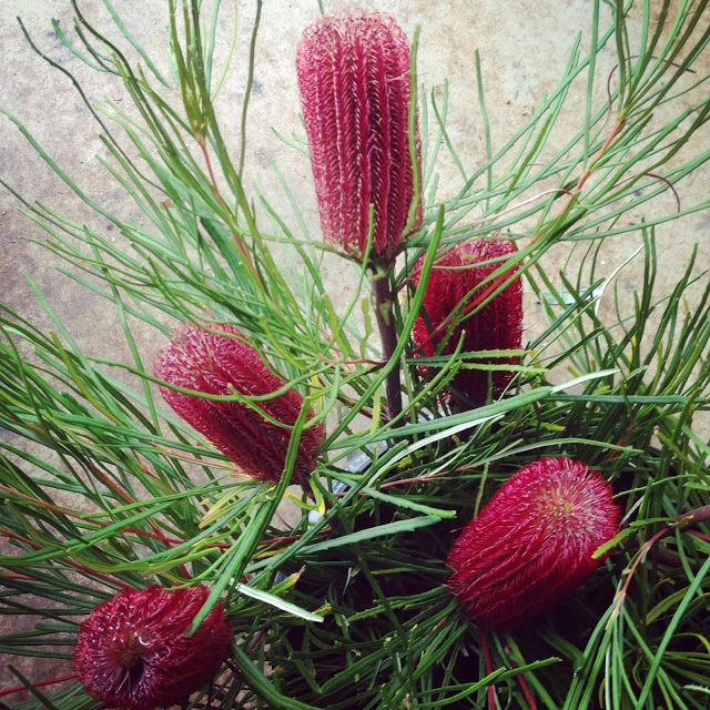 Banksia Occidentalis - February Flowers