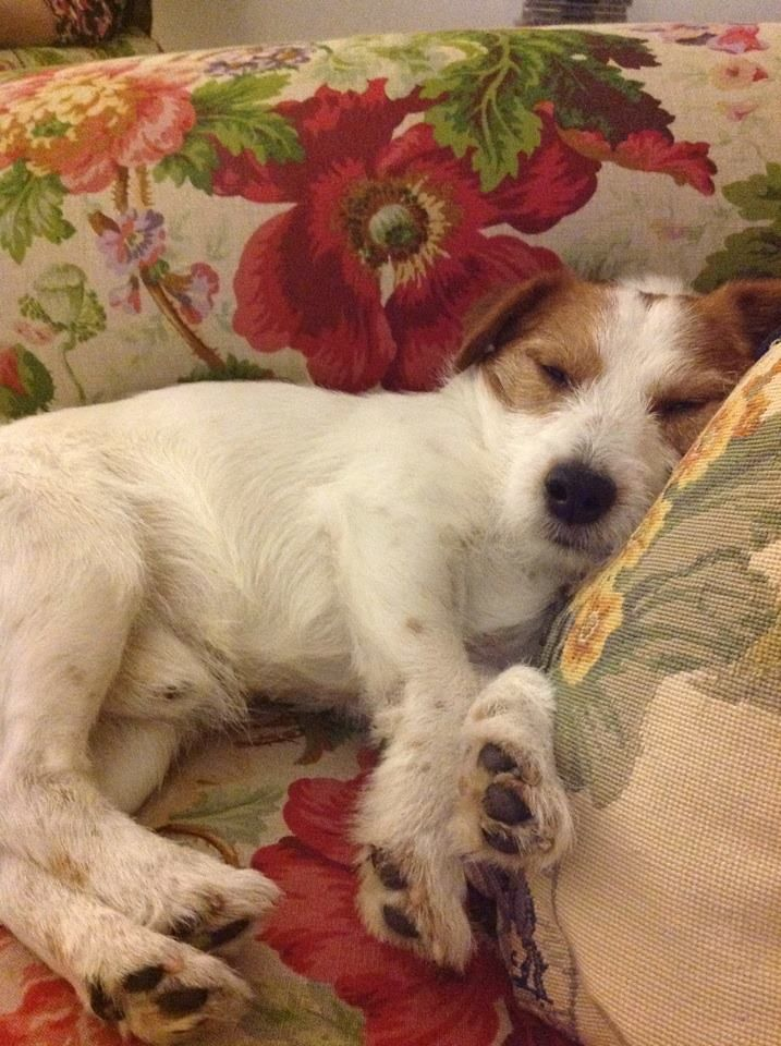 English Cottage puppy laying on typical English chintz sofa
