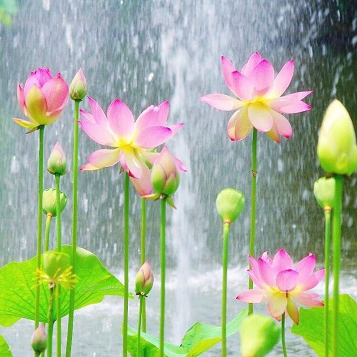 Lotus showers ....by Koji Yandao