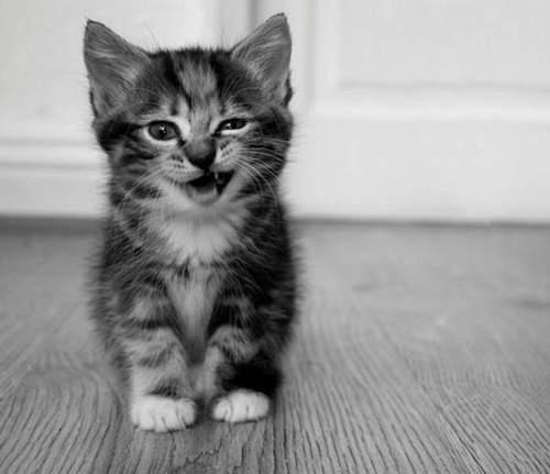 kitten!Funny Kitty, Kitty Cat, Funny Kittens, Adorable, Silly Cat, Kittycat, White Cat, Animal, Baby Cat