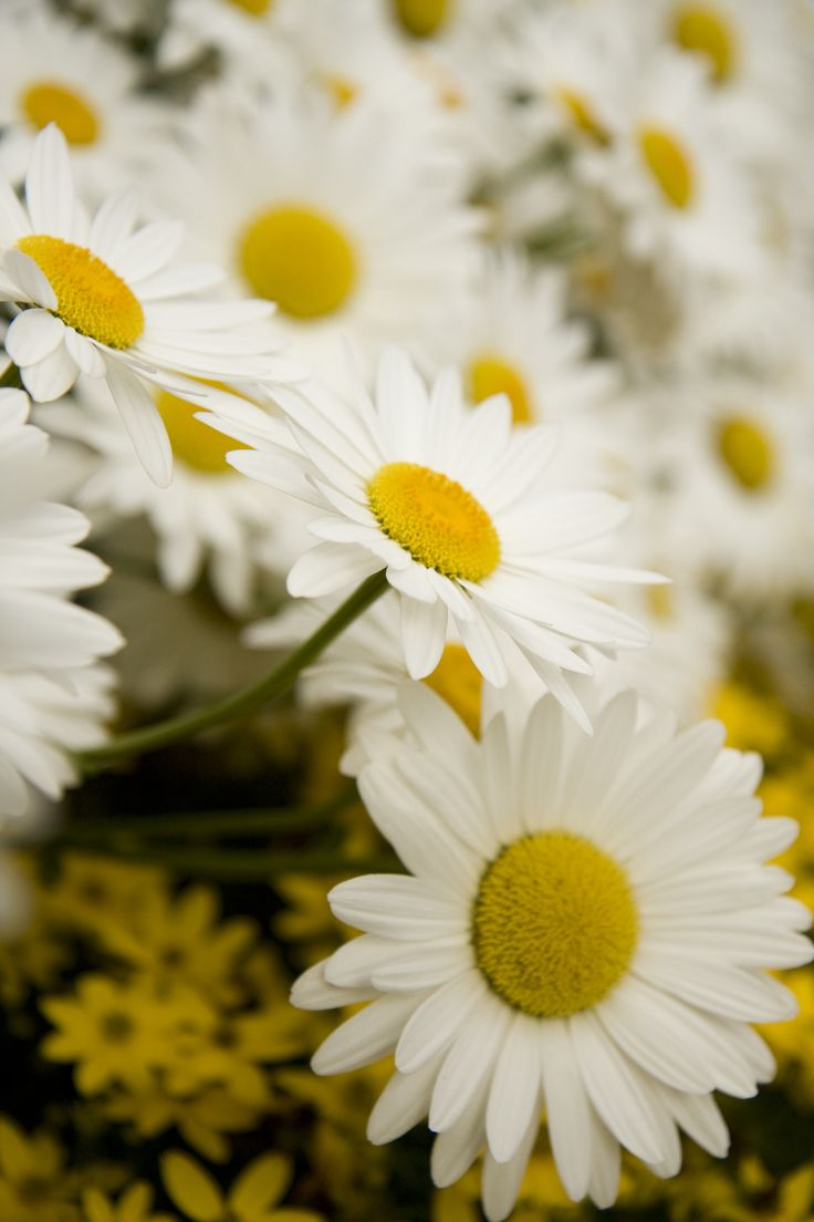 177 best daisy images on pinterest floral arrangements amazing snowcap shasta daisy monrovia snowcap shasta daisy izmirmasajfo