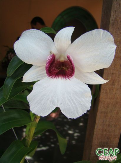 CEAP Design--- Dendrobium sanderae