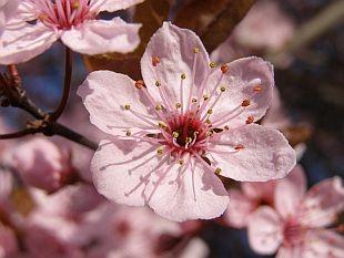 Prunus cerasifera 'Nigra' - myrobalán třešňový