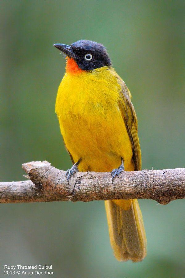 The Jewel Bird - Ruby Throated Bulbul by Anup Deodhar