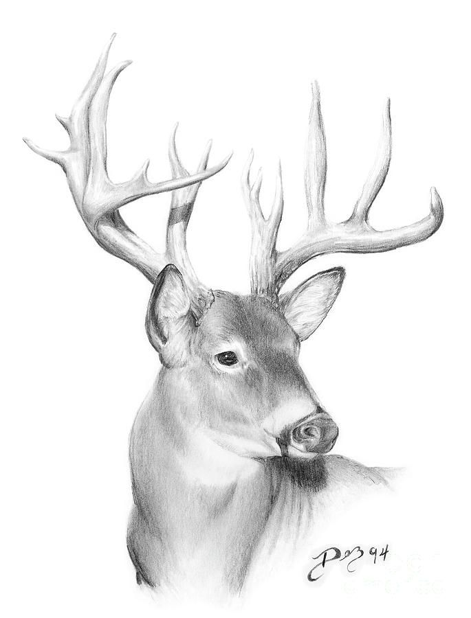 Whitetail Deer Drawing - Whitetail Deer by Larry-DEZ- Dismang