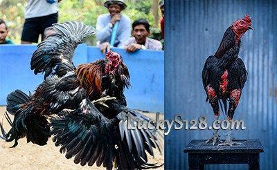 Memilih Ayam Bangkok Super