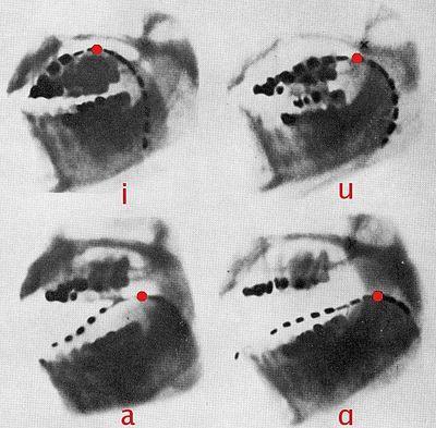 Звуки [i, u, a, ɑ] на рентгеновском снимке.