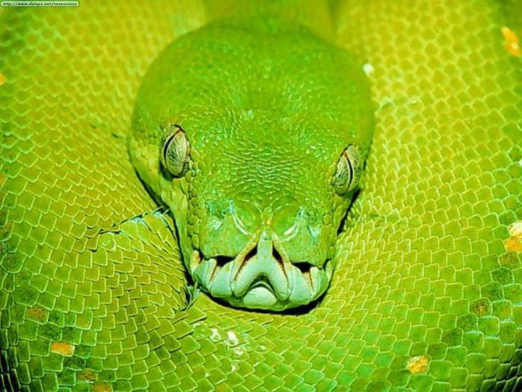 Ms de 25 ideas increbles sobre Serpientes venenosas en Pinterest