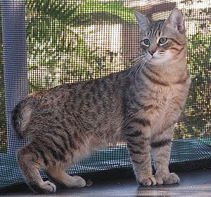 """These are a breed of cat called """"Pixie-Bobs"""". It's a cross between a domesticated house cat and a Bobtail."""