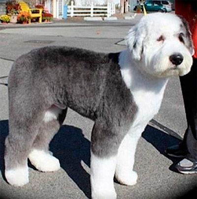 1000 Images About My Big Beautiful Dogs On Pinterest Newfoundland Puppies Old English