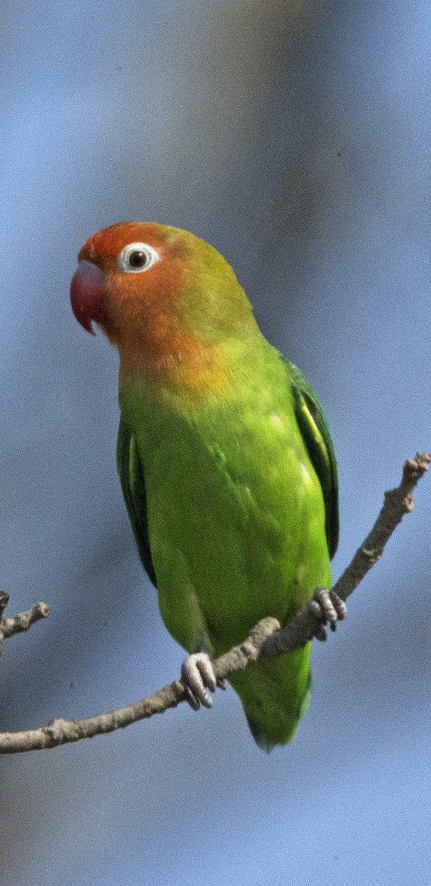 Inseparable Del Nyasa Lilians Lovebird Erdbeerkopfchen Inseparable De Lilian Love Birds Parrot