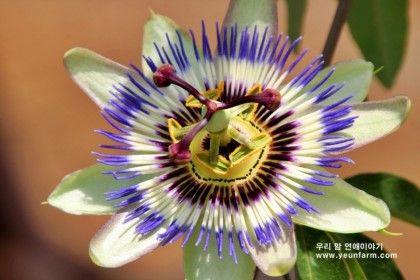 시계꽃_패션플라워 Passion Flower