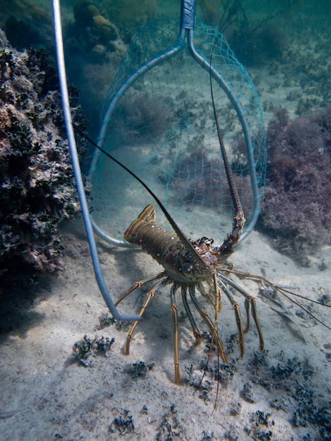 florida (spiny) lobster - mini season is the last week of july