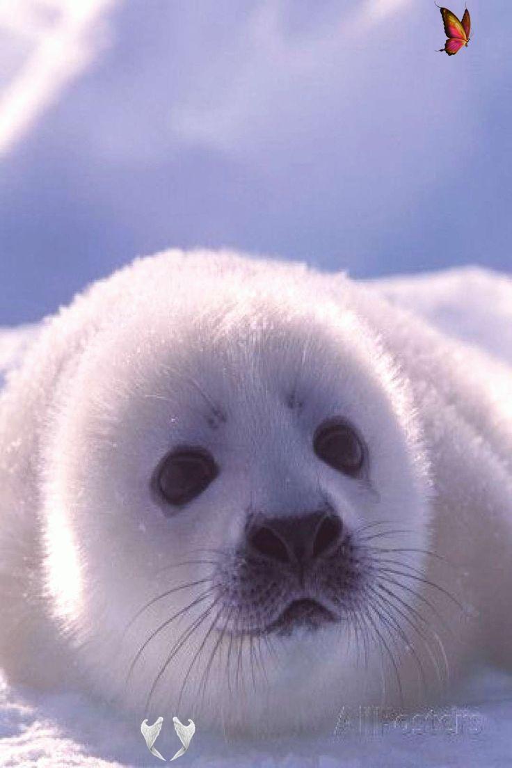 Wild Animals Beautiful Amazing Amazing Wild Animals Harp Seals Fun Facts And Beautiful Photos Of Harp Sealsbrharp In 2020 Animals Wild Harp Seal Cute Baby Animals