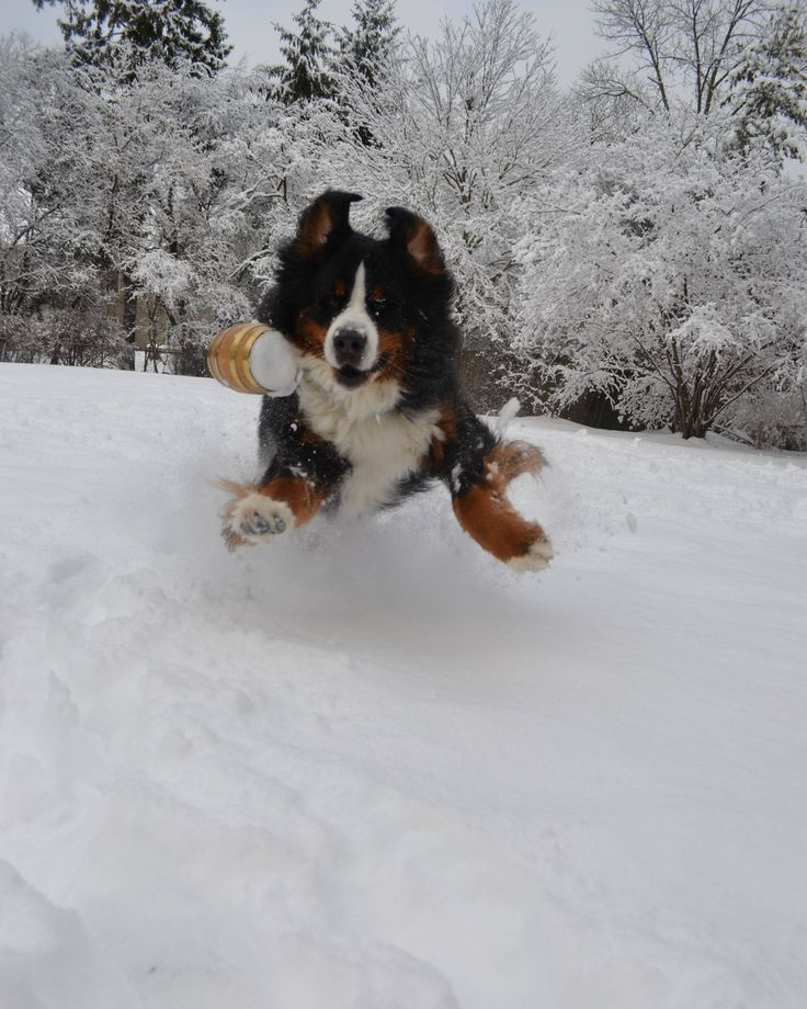 25+ best ideas about Bernese mountain dog rescue on ... Bernese Mountain Dog Rescue