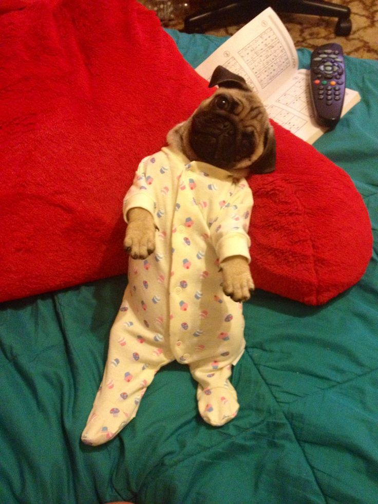 25 Best Pugs In Clothes Images On Pinterest Funny