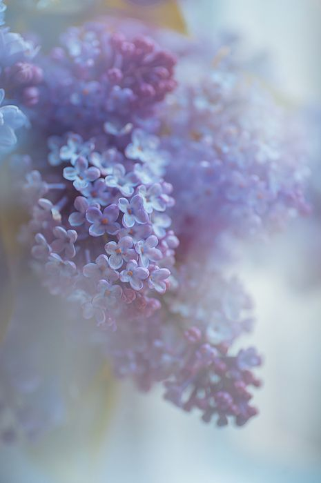 Definition of Tenderness by Jenny Rainbow.   The macro of the double purple Lilac photographed in impressionistic style using multi/double exposure and processed with dreamy soft touch to get some romantic and poetic appearance.  #JennyRainbowFineArtPhotography #Lilac #Flowers #Spring #Purple #DreamyArt #ArtForHome #Impressionism