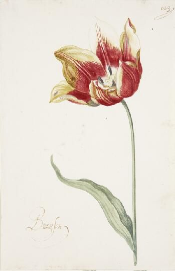 Great Tulip Book: Branson,	17th century    1600-1699  Gouache on paper  11-3/8 x 6-7/8 in. (28.9 x 17.5 cm)