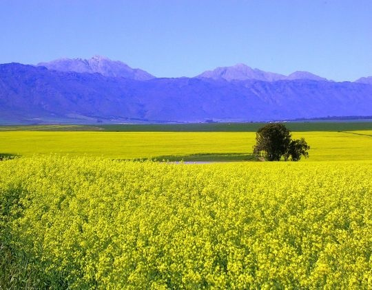 Canolalande in die Overberg