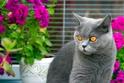 grey british cat with orange eyes sitting among pink flowers