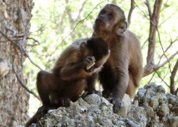Las pedradas de estos monos se parecen demasiado a las de nuestros ancestros