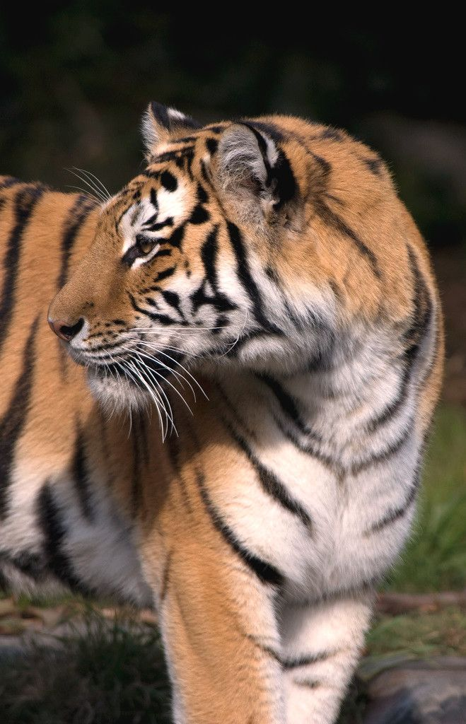 Best Tiger Attack Ideas On Pinterest Tigers Big Eyed - 17 zoo animals happy see visitors