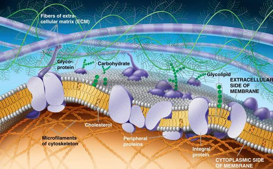 Modelo de mosaico fluido de las membranas celulares