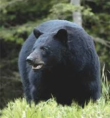 I looked to the left, where Marnie pointed, and saw a dark hump moving through a berry thicket. Bear!  (p. 84)