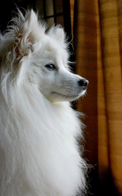 American Eskimo Dog art portraits, photographs, information and just plain fun. Also see how artist Kline draws his dog art from only words at drawDOGS.com #drawDOGS